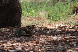 There are no predator threats to the fox meaning it can wander freely all day